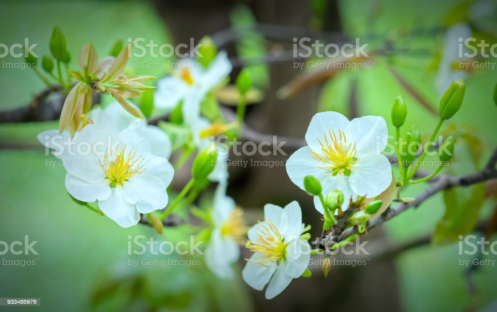 Apricot flowers blooming in Vietnam Lunar New Year with white blooming fragrant petals signaling stock photo