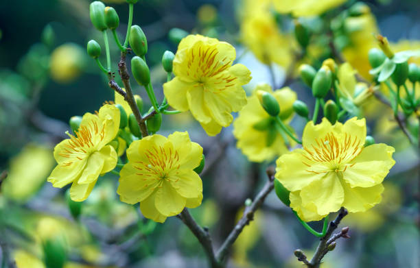 Apricot flowers blooming in Vietnam Lunar New Year with yellow blooming fragrant petals signaling spring stock photo
