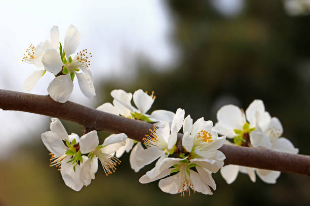 Apricot flowers blooming stock photo