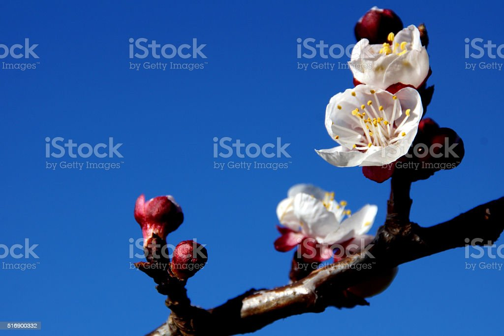 Apricot flowers on the blue sky stock photo