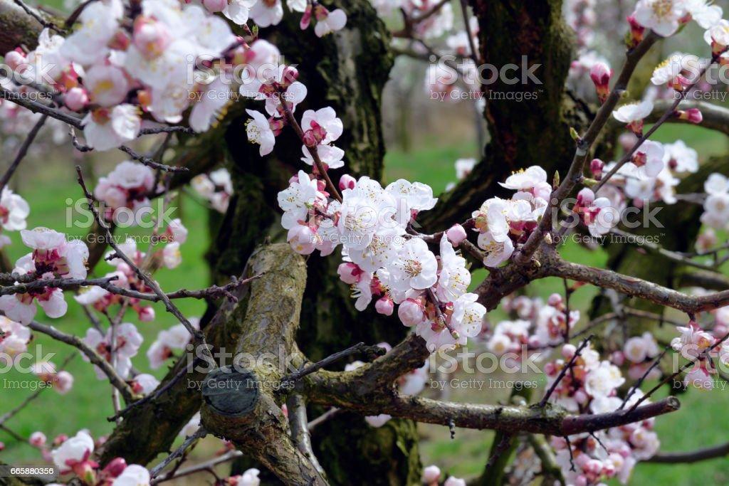 Apricot Blumen  – Foto