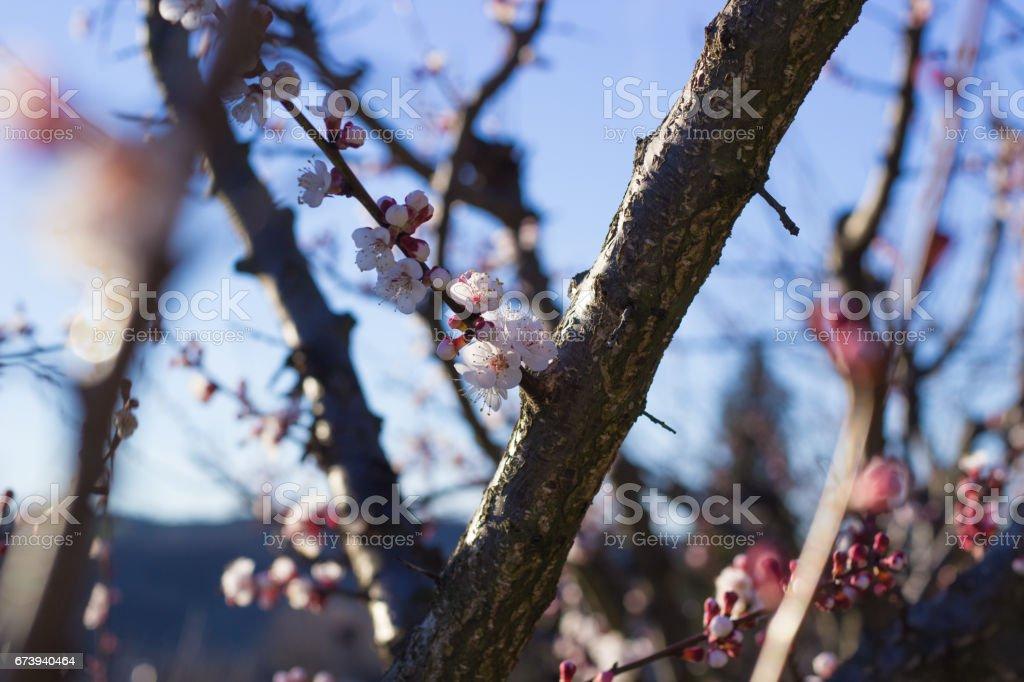 Apricot Flowers photo libre de droits