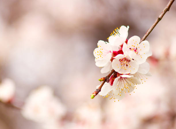 Apricot flowers. stock photo