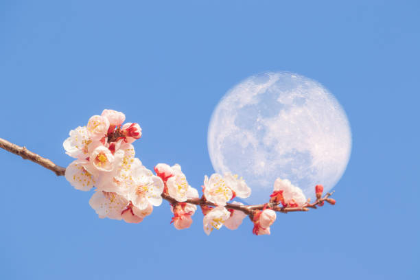 Apricot flowers & Super moon stock photo