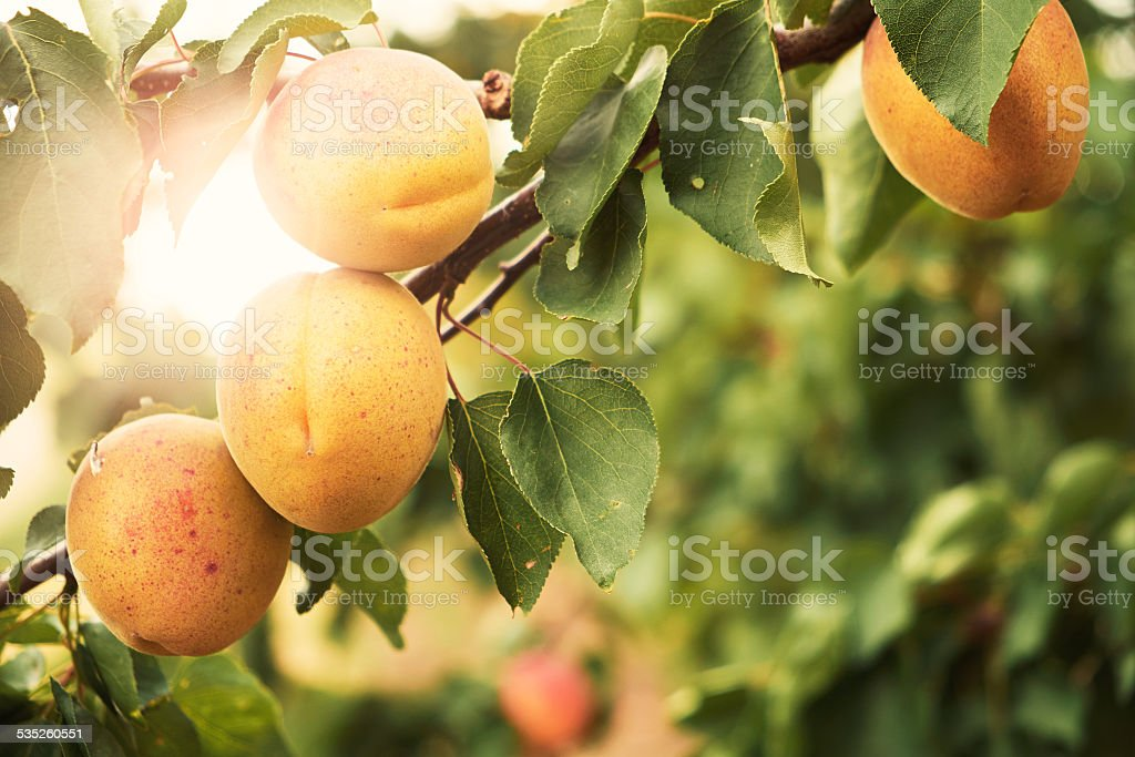 Apricot fruit on tree stok fotoğrafı
