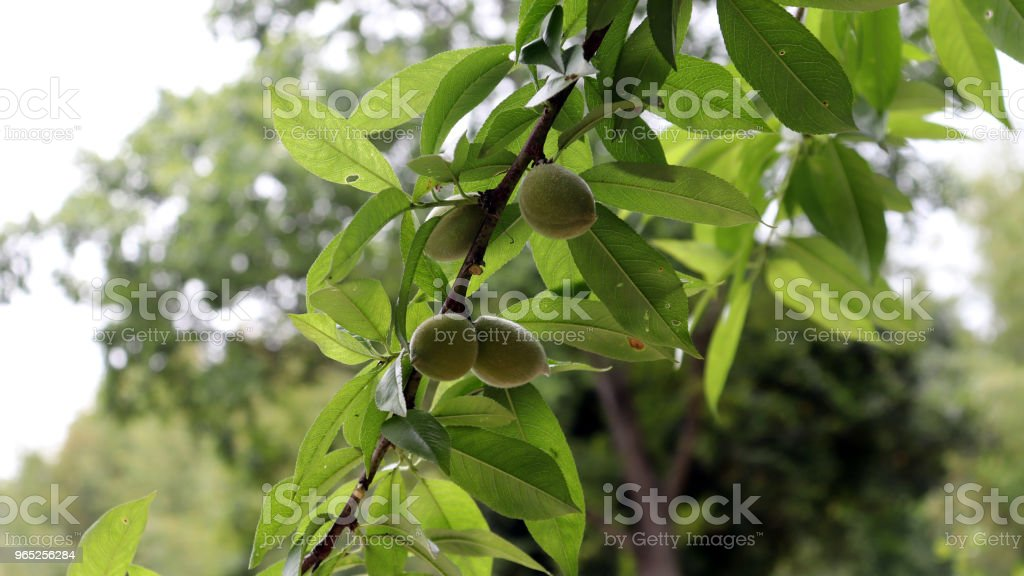 Apricot fruit that begins to open anew in early summer. zbiór zdjęć royalty-free