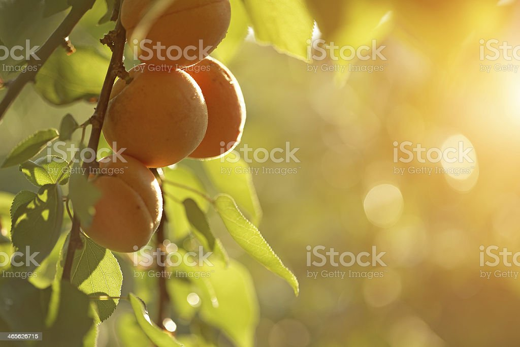 Des fruits abricots - Photo