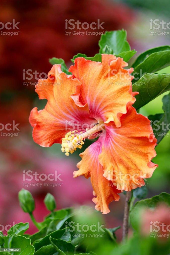 Apricot Hibiscus stock photo
