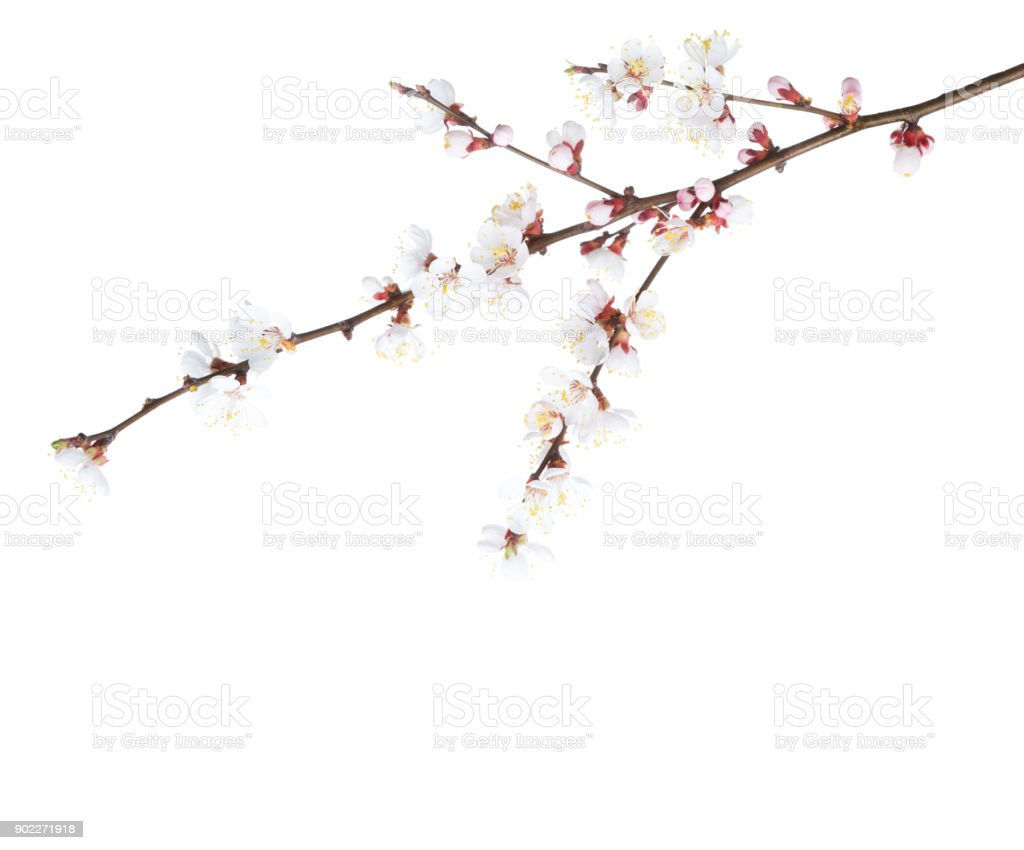 Apricot in blossom isolated on white. stock photo