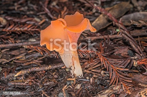 Apricot jelly mushroom from the forest floor under redwoods in Sonoma County, California. Guepinia helvelloides