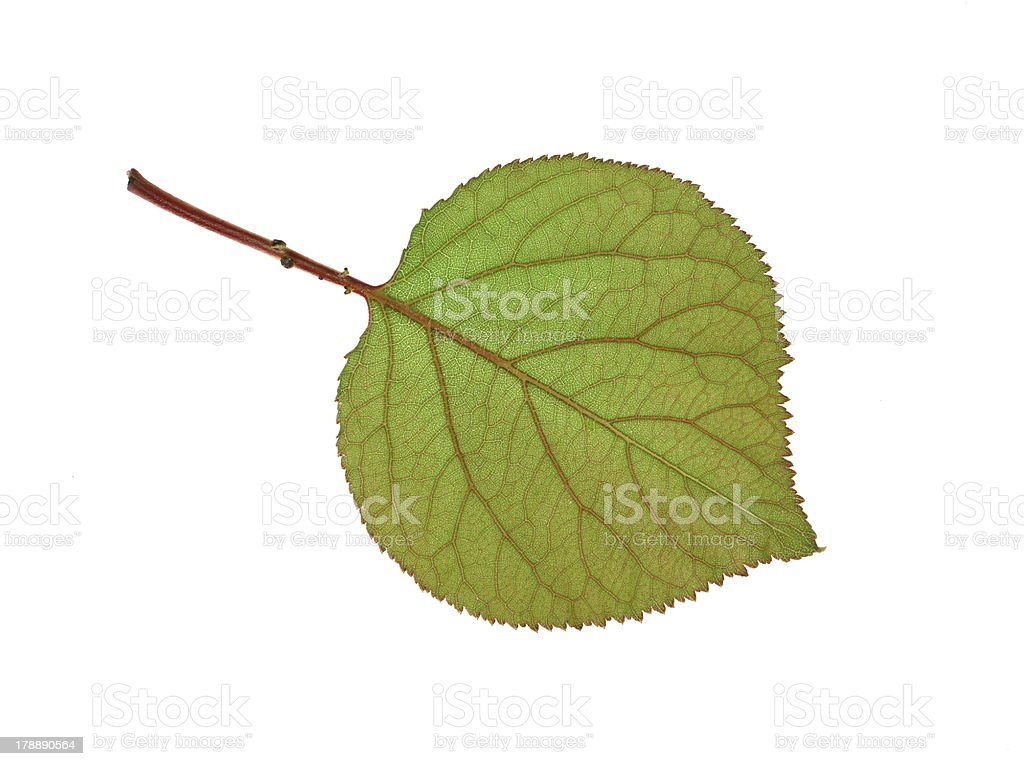 apricot leaf stock photo