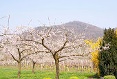 apricot orchard in bloom in front of an austrian wineyard