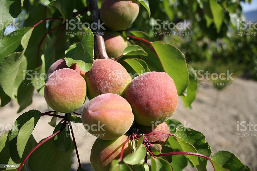 Apricot royalty free stockfoto