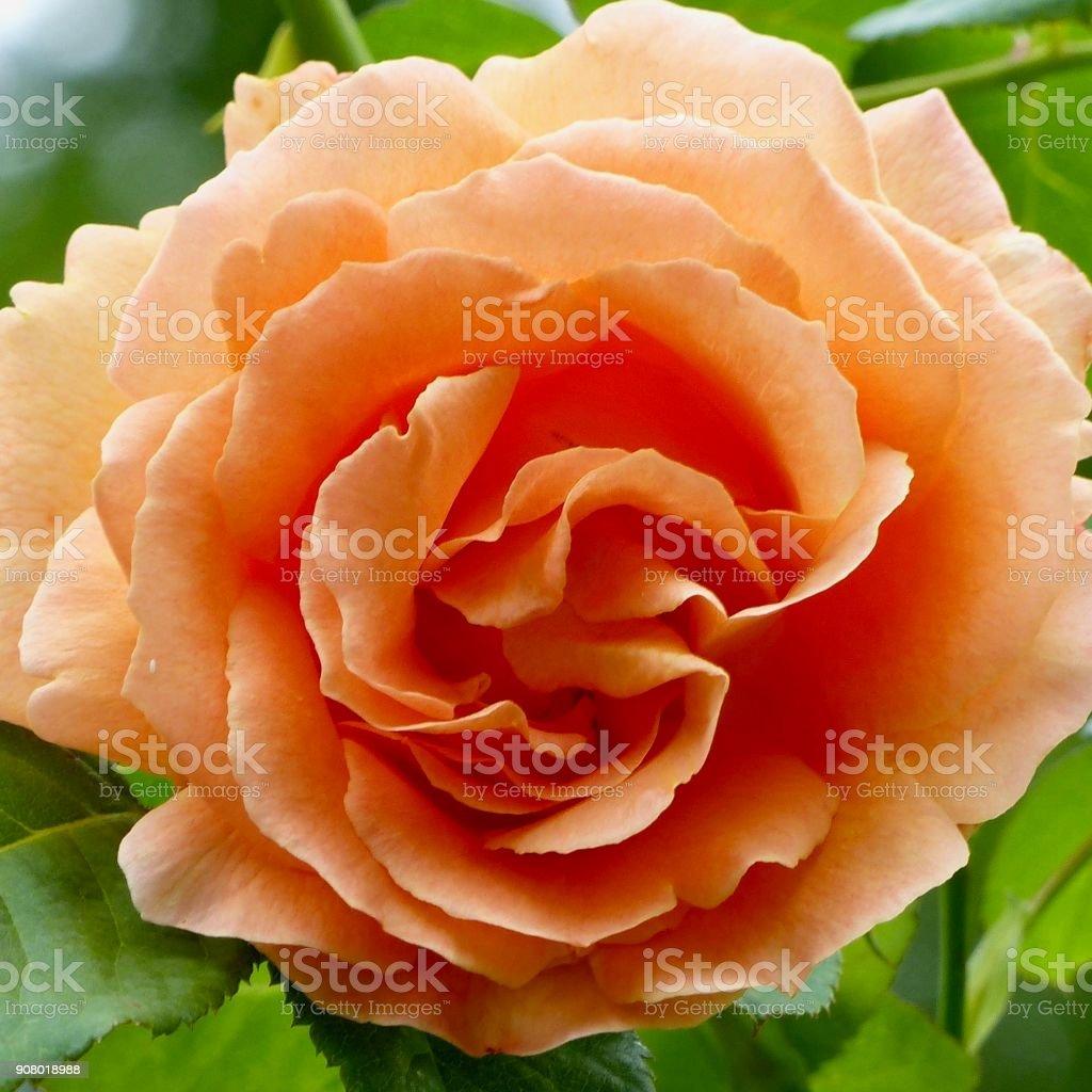 Apricot rose blossom stock photo