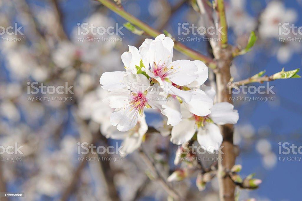Árbol de albaricoque florecer racimo foto de stock libre de derechos