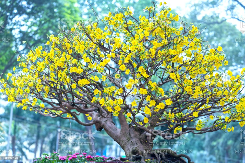 Apricot tree blooming with yellow Flowering bonsai branches curving create unique beauty stock photo