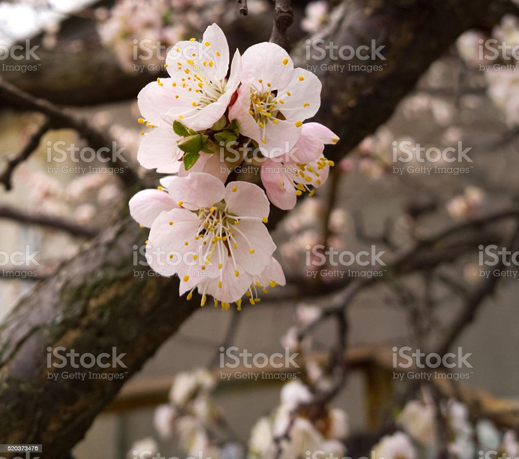 Apricot tree blooms. stock photo