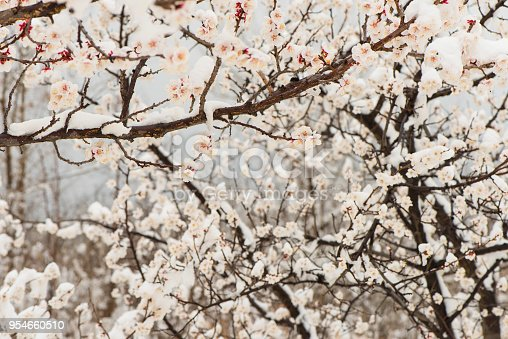 istock Apricot tree blossom in snow. 954660510
