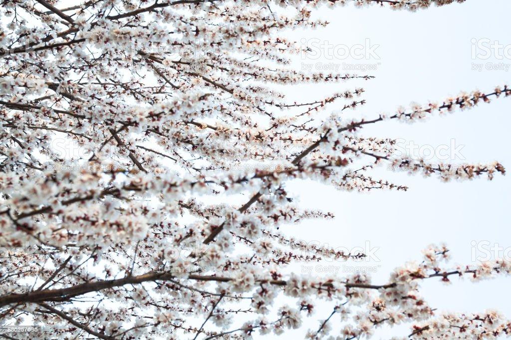 Apricot tree blossom stock photo