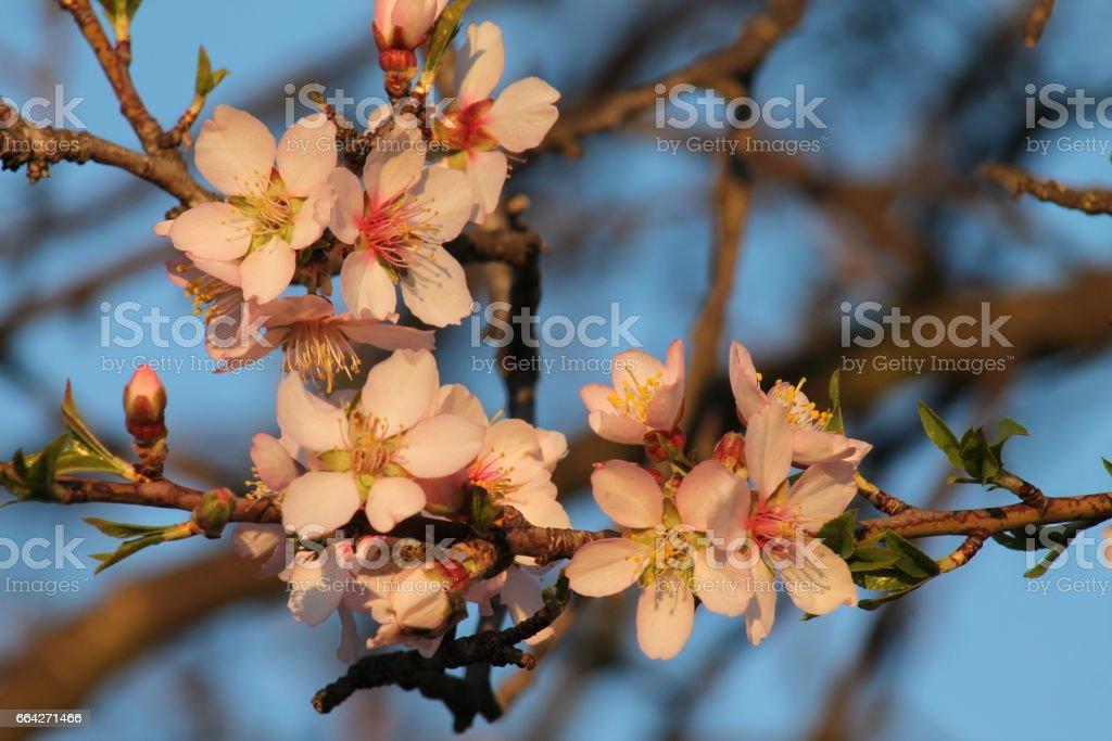 Apricot tree blossoms stock photo