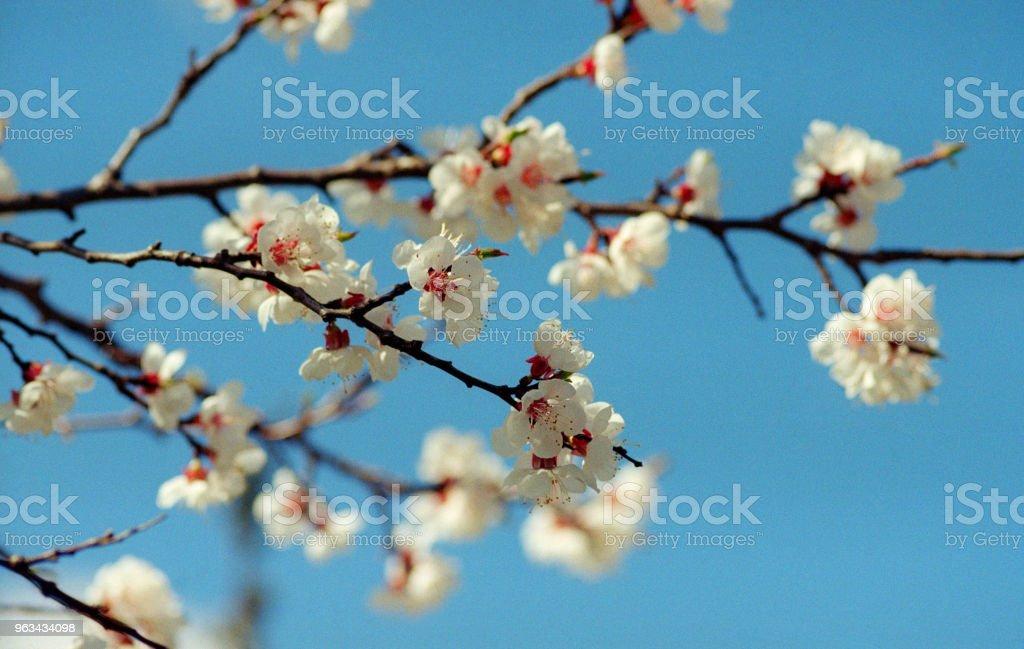 Branche d'abricotier en fleurs sur fond de ciel. Tourné sur pellicule - Photo de Abricot libre de droits