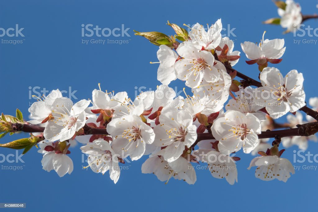 Apricot tree branch with white flowers on blue background. stock photo