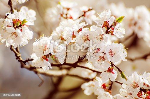 istock Apricot tree flower 1024646934