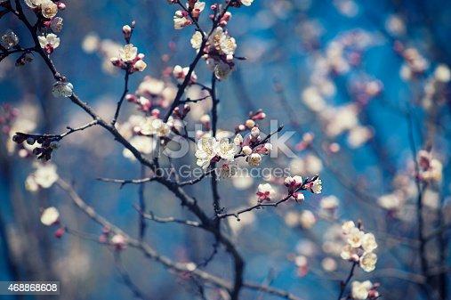 istock Apricot tree flower 468868608