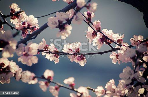 istock Apricot tree flower 474039462
