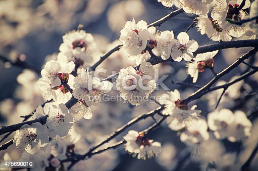 istock Apricot tree flower 475690010