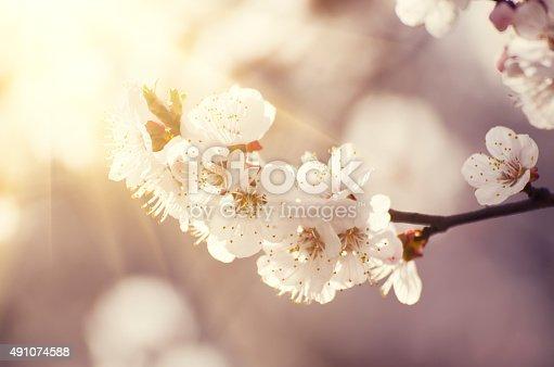 istock Apricot tree flower 491074588