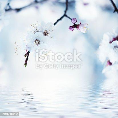istock Apricot tree flower 533210235