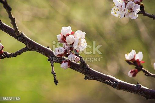 istock Apricot tree flower 535221169