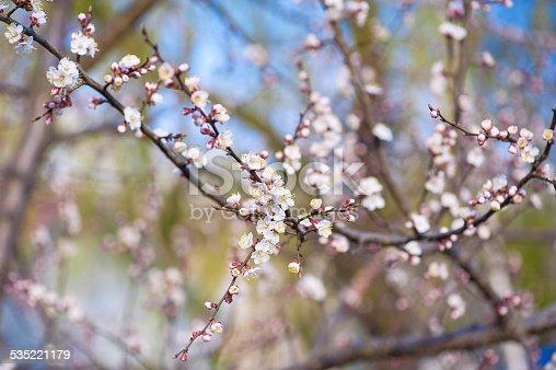 istock Apricot tree flower 535221179