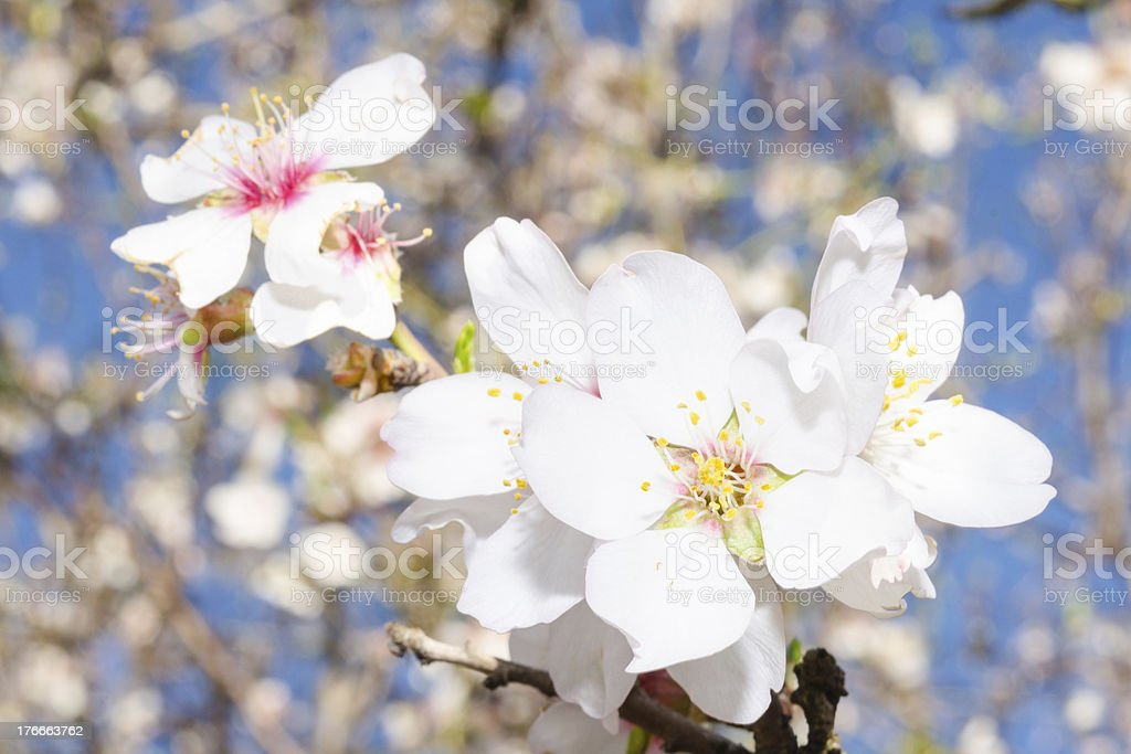 Apricot tree flowers bloom royalty-free stock photo