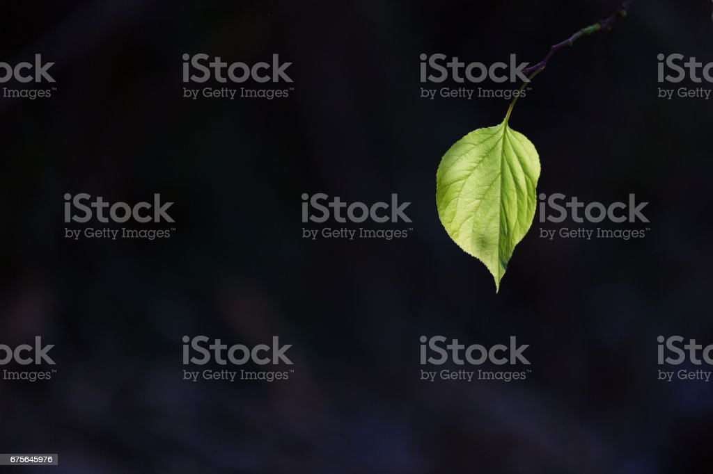 apricot tree leaf royalty-free stock photo