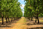 apricot tree farm in Provence, france