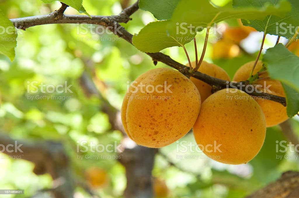 Apricot tree royalty-free stock photo