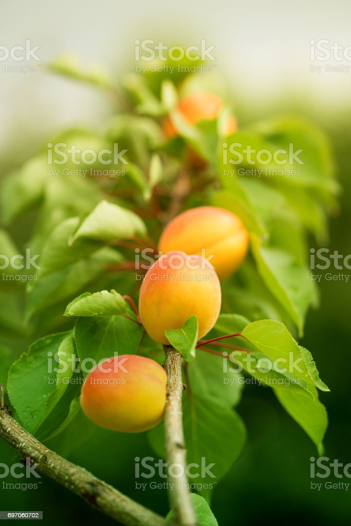 Abricotier fruit - Photo