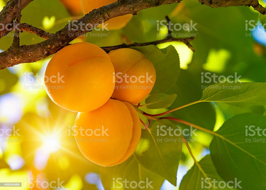Apricot tree with fruits stock photo