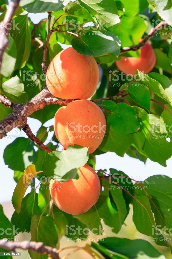 Abricot arbre avec des fruits - Photo