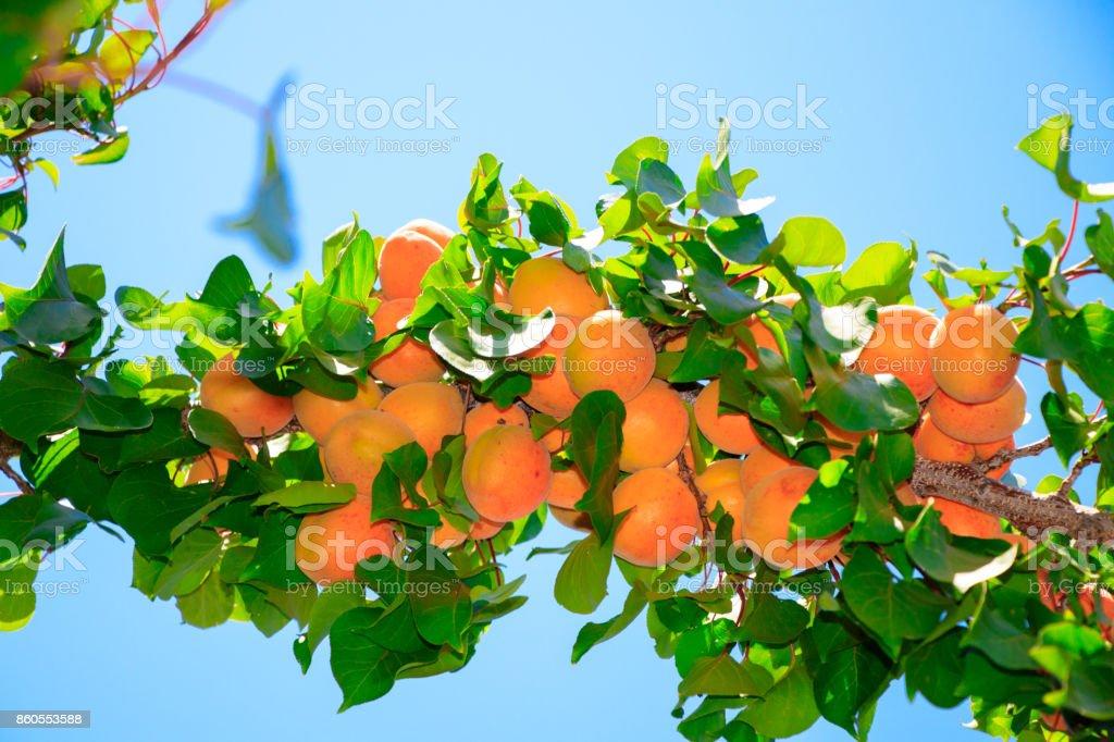 Aprikosenbaum Mit Früchten Stock Fotografie Und Mehr Bilder Von