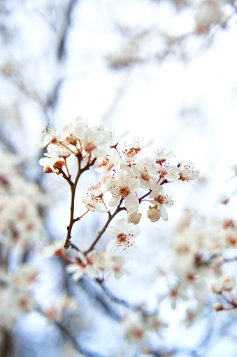 Apricot trees bloom with white flowers in early spring.