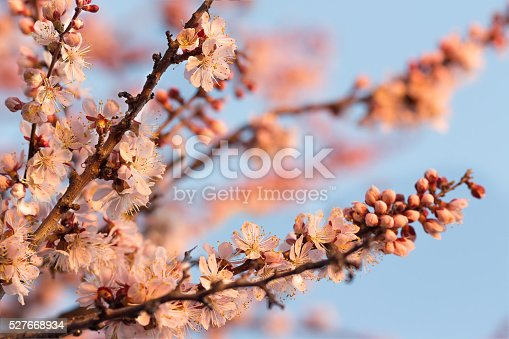 istock Apricot trees branches covered of flowers and buds 527668934