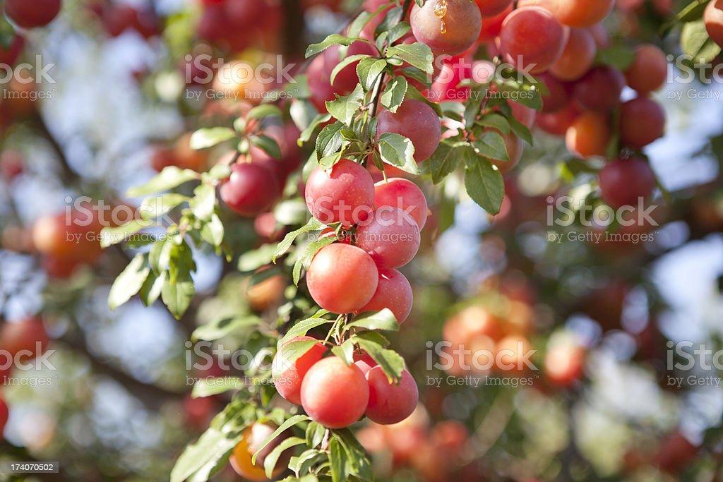 Abricot arbres en-Provence - Photo