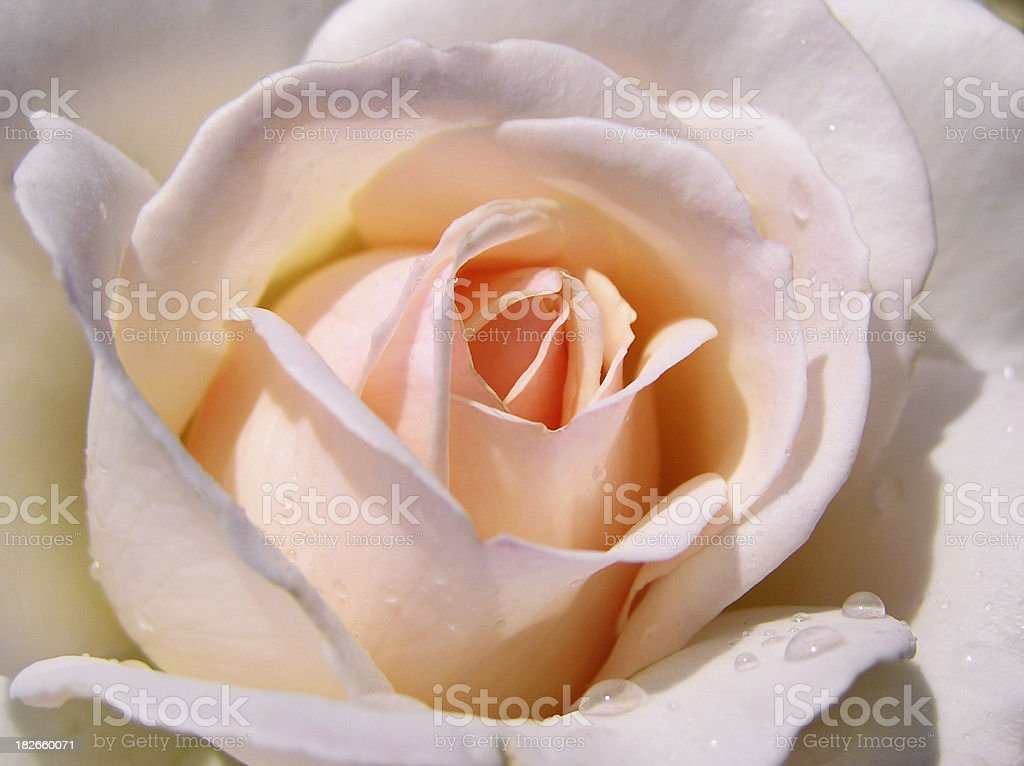 Apricot-Pink Rose royalty-free stock photo