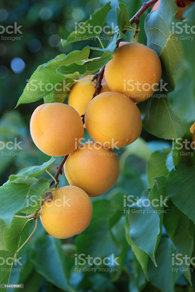 apricots 1 royalty-free stock photo