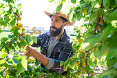 Apricots fruit harvest farmer man with beard and straw hat