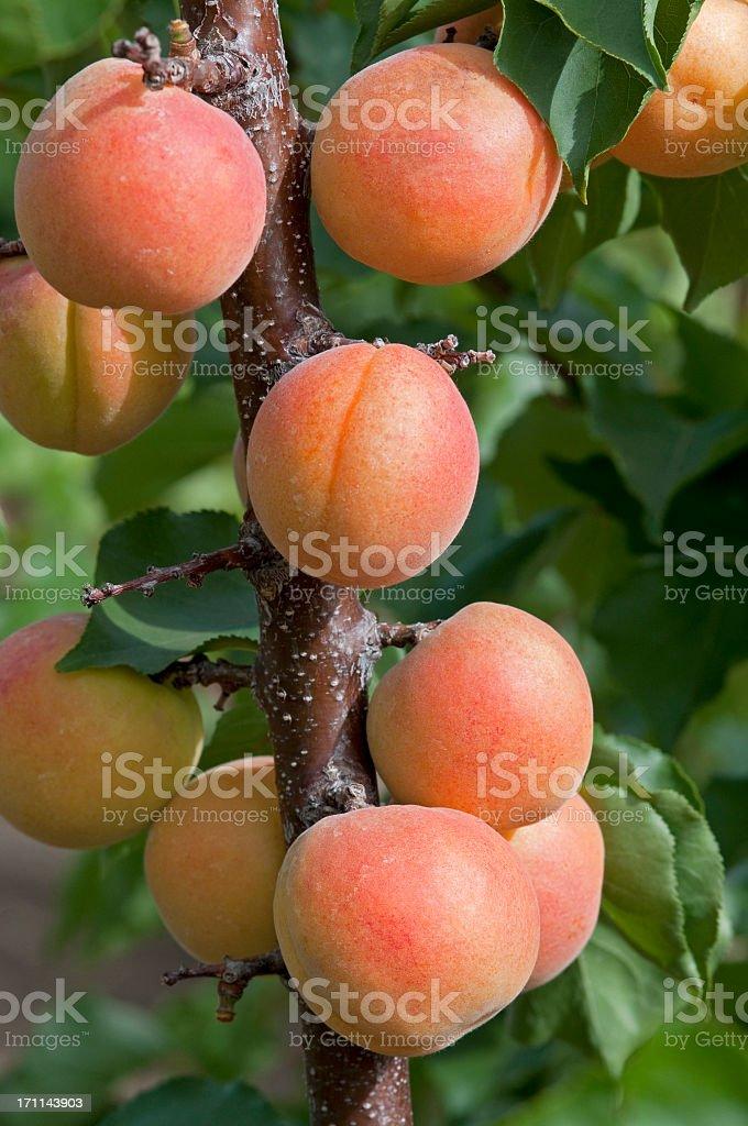 Abricots fruits sur l'arbre - Photo