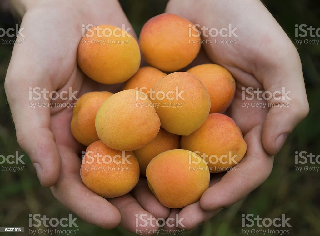 apricots in hands royalty-free stock photo